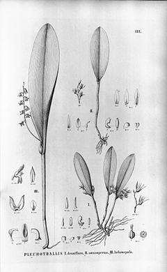 Anathallis obovata httpsuploadwikimediaorgwikipediacommonsthu