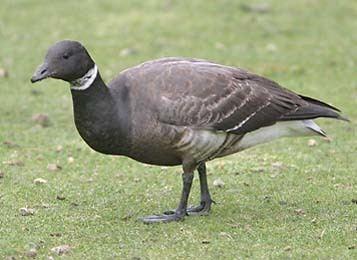 Anatidae Ducks Geese amp Swans family Anatidae