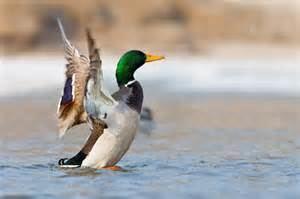 Anatinae More on Anseriformes Ducks