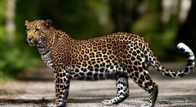 Anatolian leopard Most Endangered Big Cats Rarest Tigers Pumas Or Lions In The World