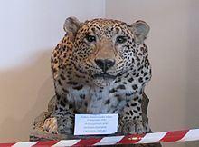 Anatolian leopard httpsuploadwikimediaorgwikipediacommonsthu