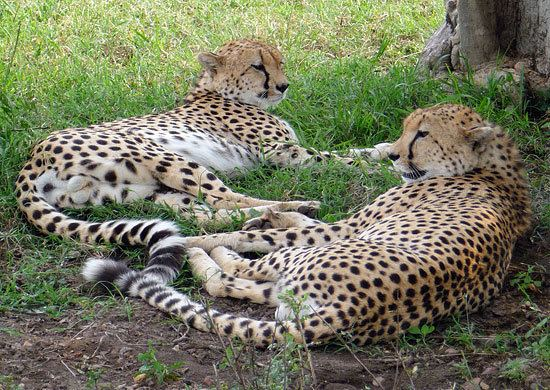Anatolian leopard New projects by the Anatolian Leopard Foundation call for support