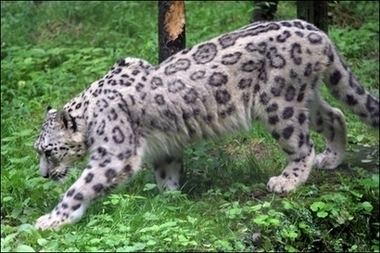 Anatolian leopard Evidence that the Anatolian leopards are not extict