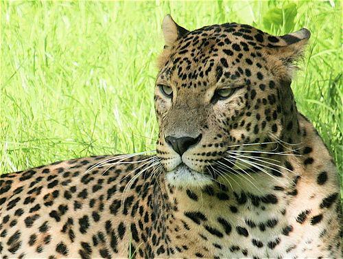 Anatolian leopard Anatolian leopard The Life of Animals