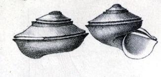 Anatoma umbilicata
