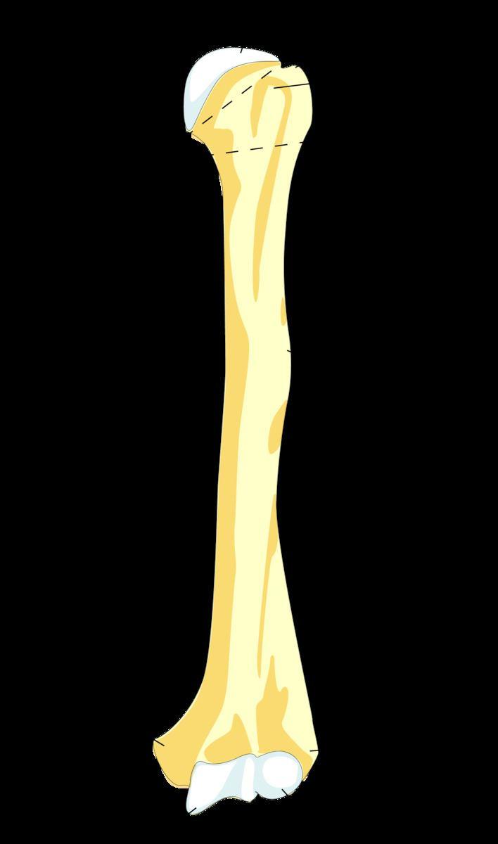 Anatomical neck of humerus