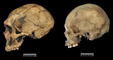 Anatomically modern human Neanderthal versus modern skulls selection or drift Egghead