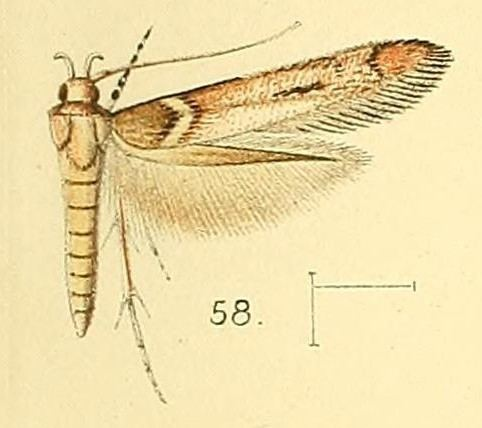Anatrachyntis simplex