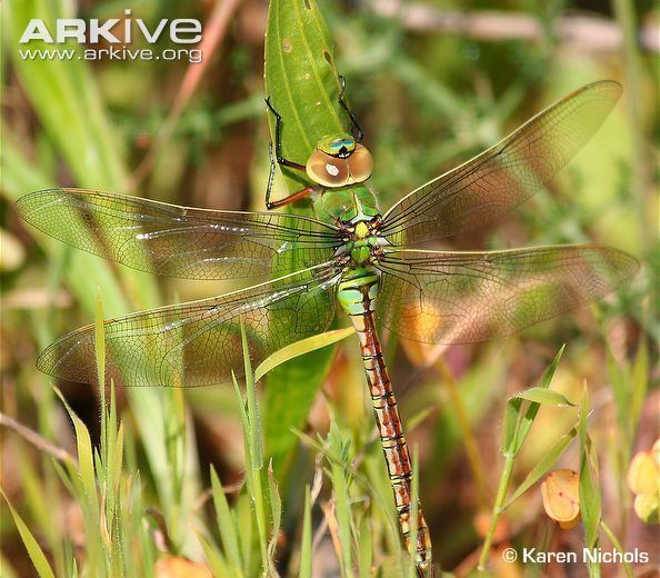 Anax (dragonfly) Emperor dragonfly videos photos and facts Anax imperator ARKive