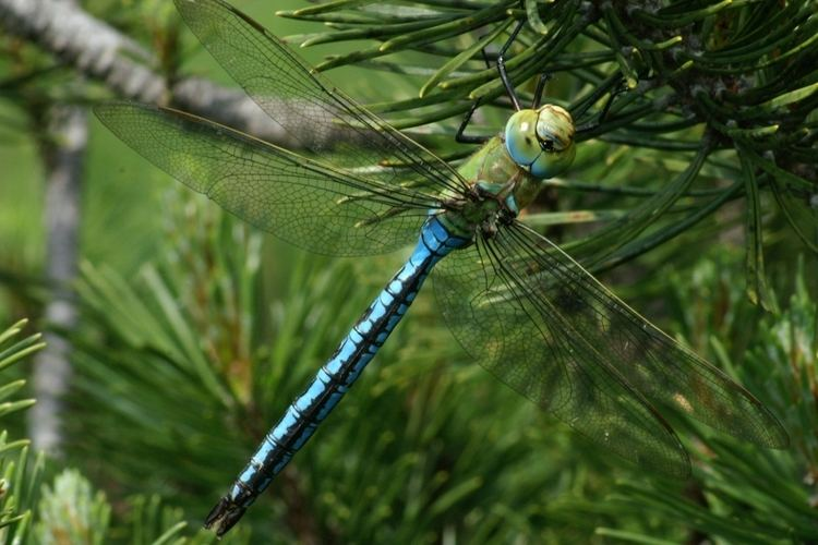 Anax (dragonfly) FileAnax imperator2JPG Wikimedia Commons