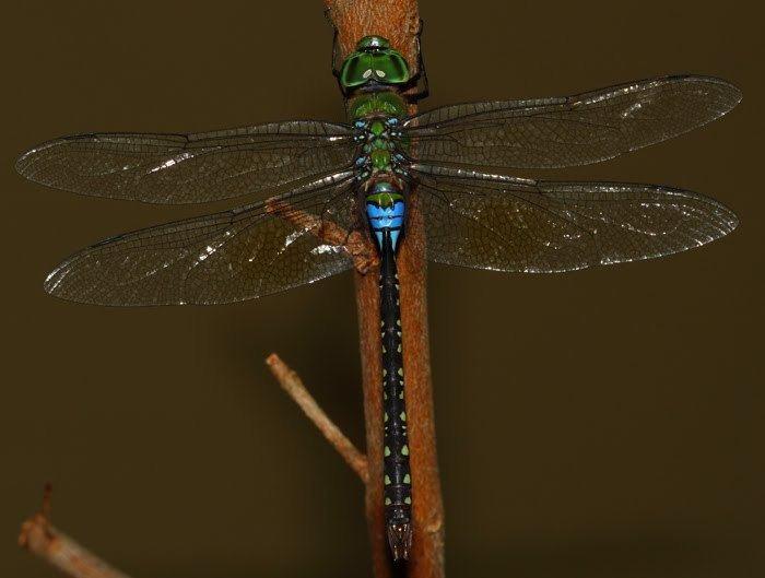 Anax guttatus Odonata of Peninsular Malaysia Anax guttatus