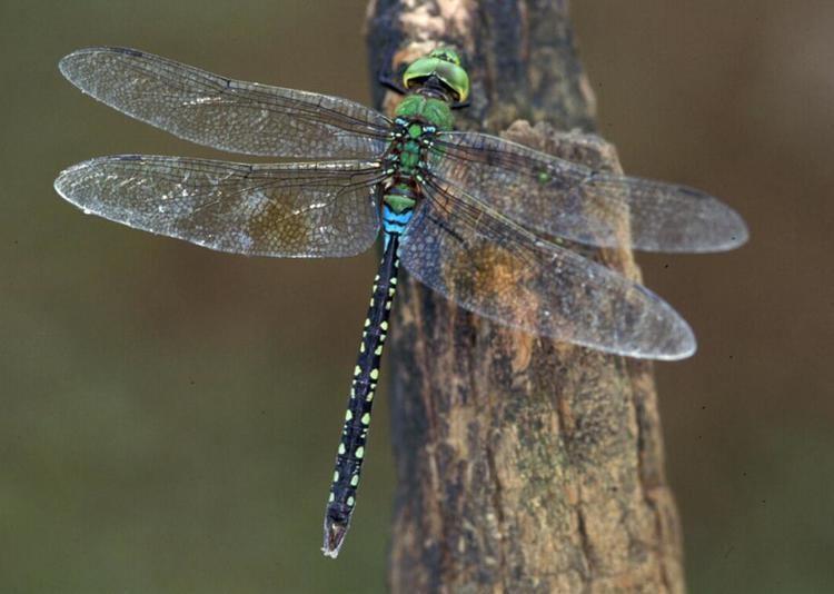 Anax guttatus Results All Odonata Search