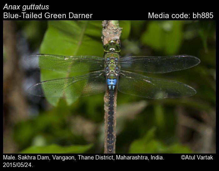 Anax guttatus Anax guttatus BlueTailed Green Darner Odonata of India