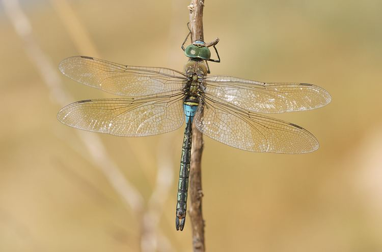 Anax parthenope Anax parthenope Selys 1839