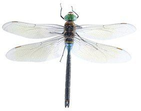 Anax parthenope Dragonfly Anax parthenope