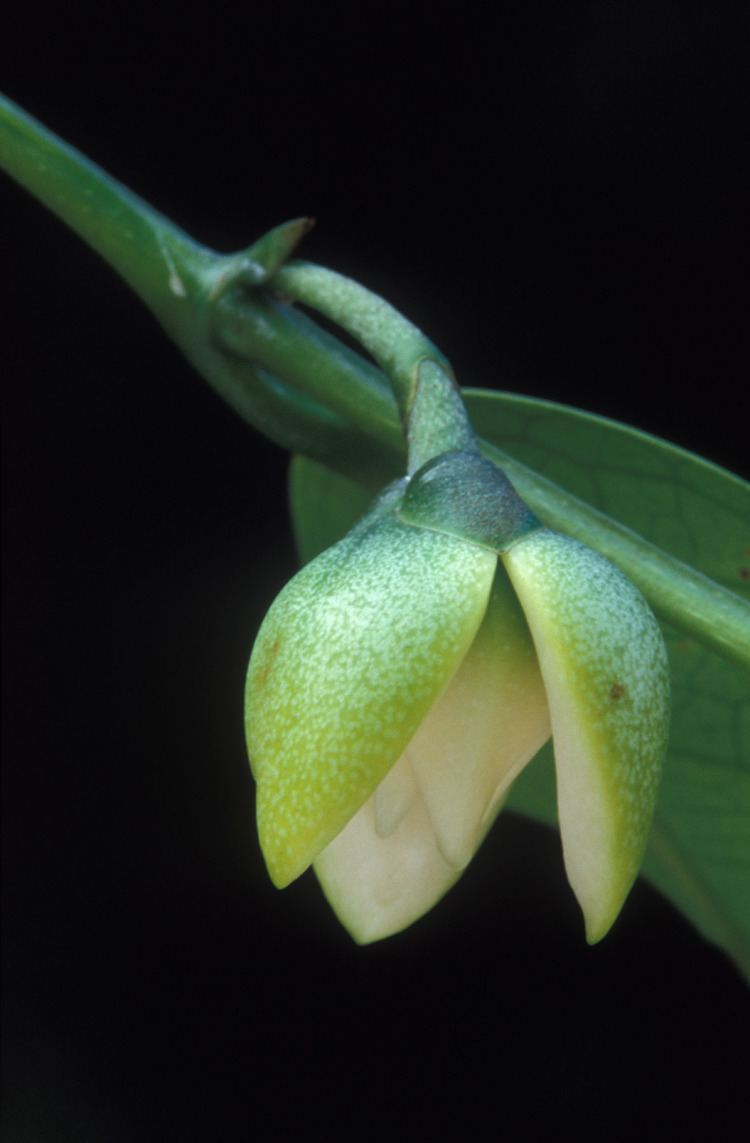 Anaxagorea Annonaceae World Annonaceae