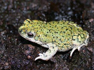 Anaxyrus debilis Anaxyrus debilis Eastern Green Toad Discover Life