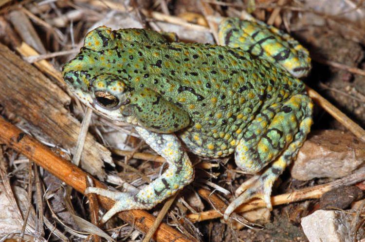 Anaxyrus debilis Green Toad Anaxyrus debilis