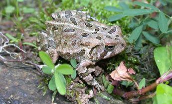 Anaxyrus fowleri Species Profile Fowler39s Toad Bufo Anaxyrus fowleri SREL