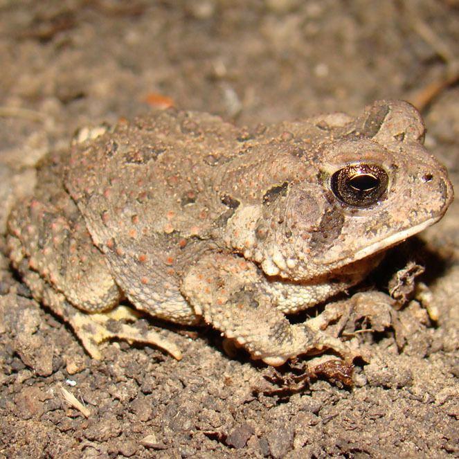 Anaxyrus fowleri Louisiana Amphibians Fowler39s toad Anaxyrus fowleri