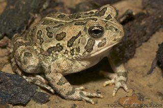 Anaxyrus fowleri Anaxyrus fowleri Fowlers toad Discover Life