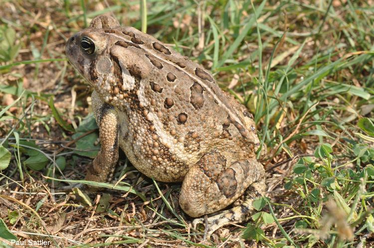 Anaxyrus fowleri Fowler39s Toad