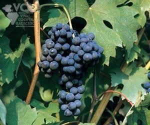 Ancellotta Ancellotta Wine Information