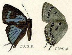 Ancema ctesia httpsuploadwikimediaorgwikipediacommonsthu
