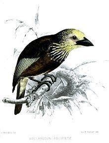 Anchieta's barbet httpsuploadwikimediaorgwikipediacommonsthu