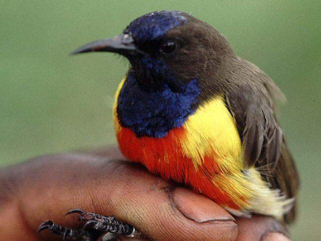 Anchieta's sunbird wwwmangoverdecomwbgimages00000008481jpg