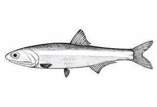 Anchoa Anchoa ischana Gulf Of California Slender Anchovy Discover Life