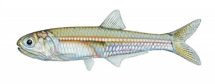 Anchoa Fishes of Texas Anchoa mitchilli