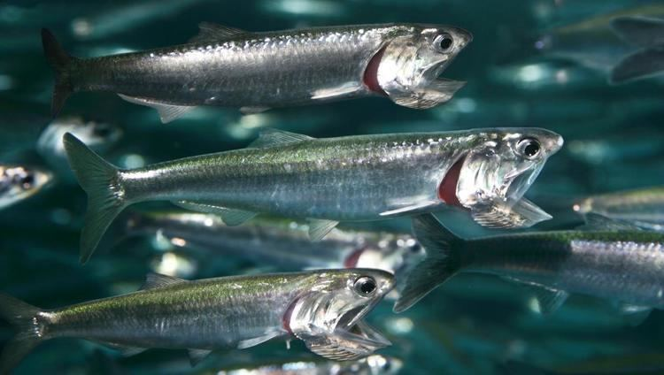 Anchovy Northern anchovy Coastal Waters Fishes Engraulis mordax at the