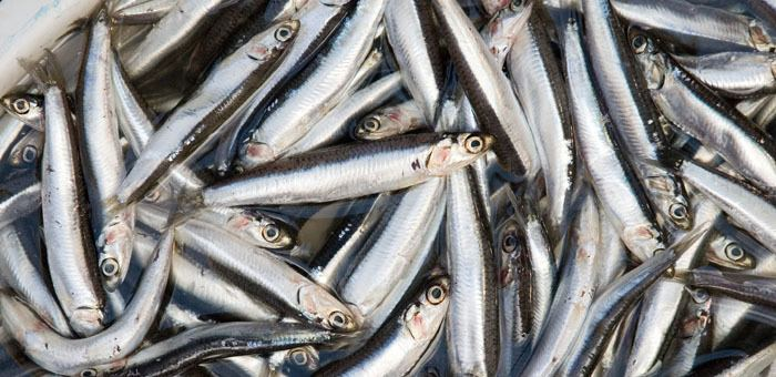 Anchovy Anchovy Fun Facts Mobile Cuisine