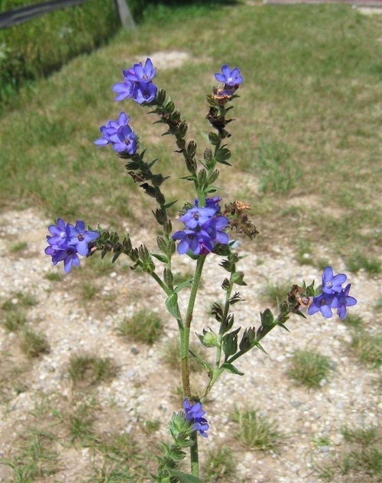 Anchusa azurea Anchusa azurea Italian bugloss Go Botany
