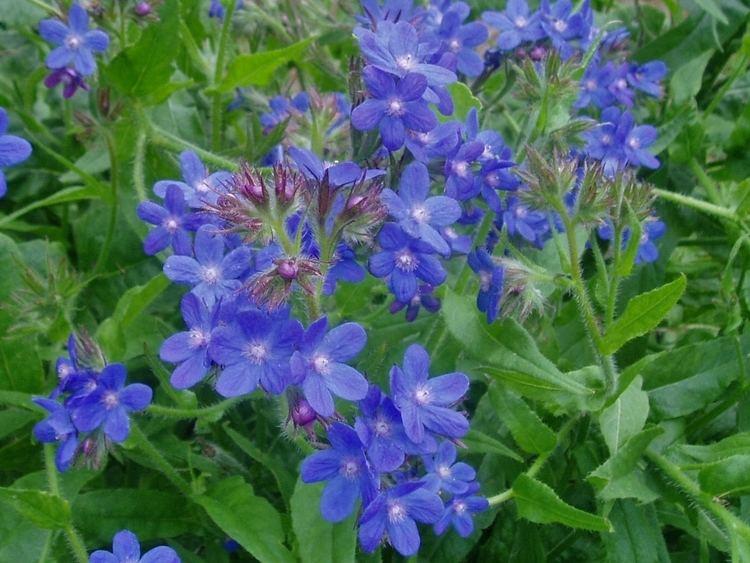 Anchusa azurea Anchusa azurea 39DROPMORE BLUE39 ANCHUSA Hill Farm Nursery