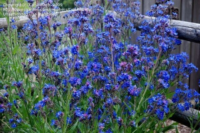Anchusa 1000 images about Anchusa on Pinterest Plants Garden plants and