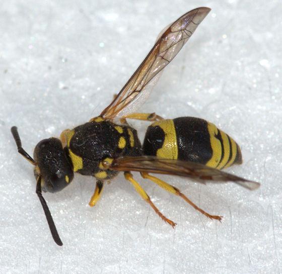 Ancistrocerus gazella Maryland Biodiversity Project European Tube Wasp Ancistrocerus