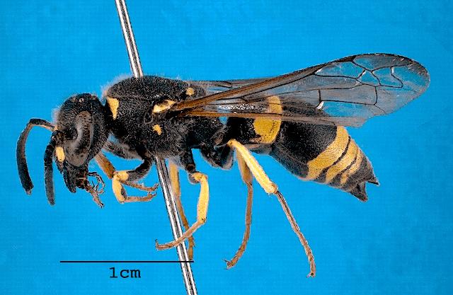 Ancistrocerus gazella Other wasps New Zealand Hymenoptera