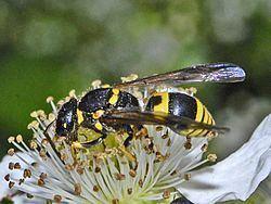 Ancistrocerus nigricornis Ancistrocerus nigricornis Wikipedia