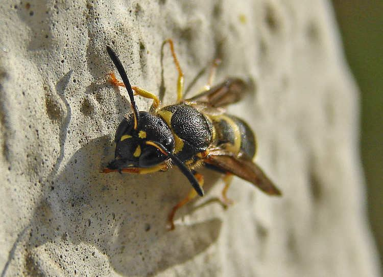 Ancistrocerus nigricornis This is the page