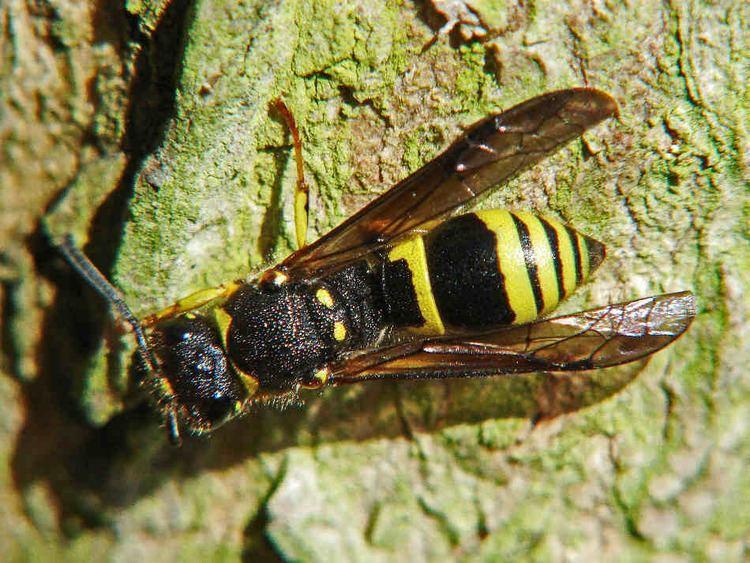 Ancistrocerus nigricornis Kleines Artenportrait mit Text und Fotos von Ancistrocerus
