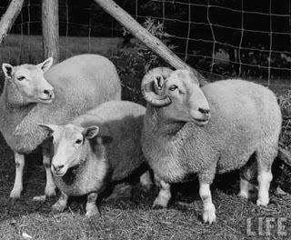 Ancon sheep 3bpblogspotcomrv3h1b0rnNQSumgk9vwWAIAAAAAAA