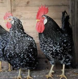 Ancona chicken Ancona Chickens