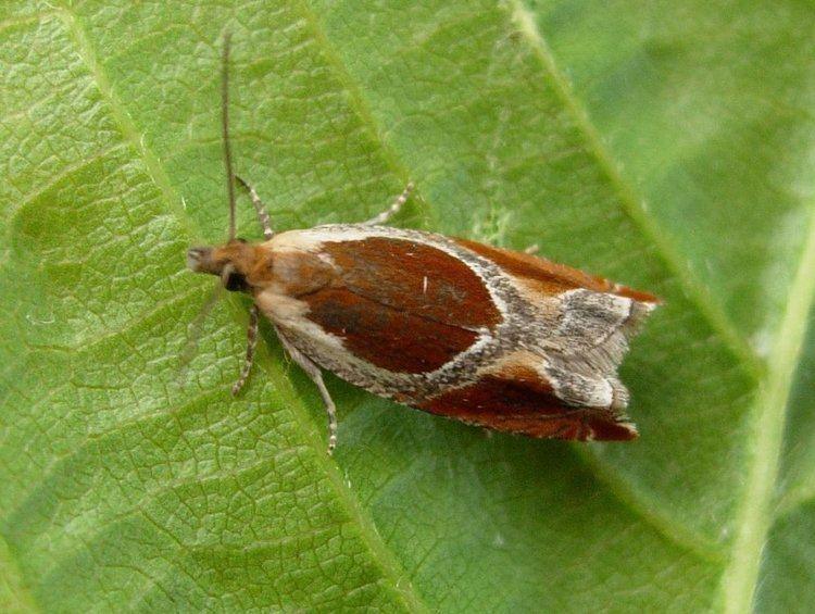 Ancylis badiana Ancylis badiana Common Roller Norfolk Micro Moths The micro