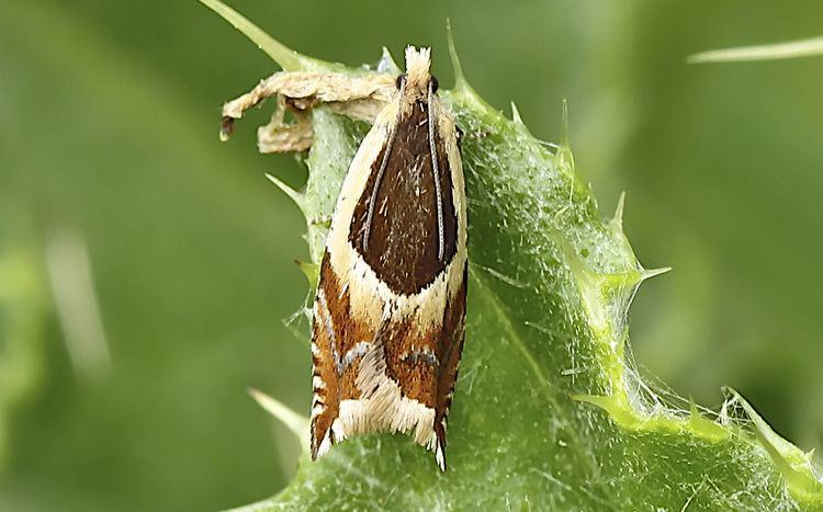 Ancylis badiana Ancylis badiana LepiPhotos