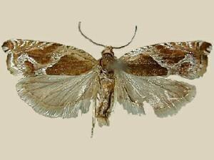 Ancylis comptana Moth Photographers Group Ancylis comptana 3374