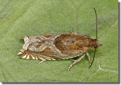 Ancylis comptana Hants Moths 49205 Ancylis comptana