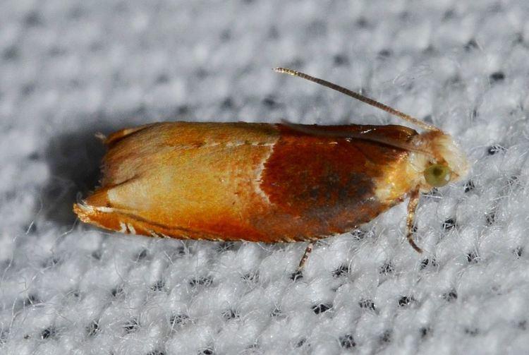 Ancylis divisana