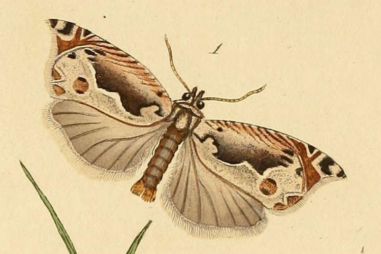 Ancylis geminana